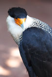 Northern Crested Caracara Stock Image