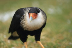 Northern crested caracara Stock Photo