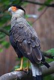 Northern crested caracara (Caracara cheriway). Royalty Free Stock Image