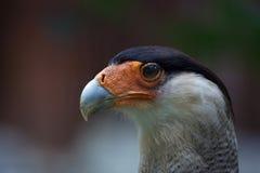 Northern crested caracara & x28;Caracara cheriway& x29;. Stock Photo