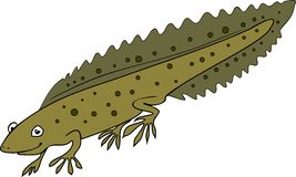 Northern crested newt. On white background Stock Photography