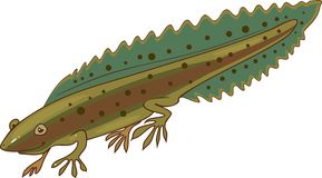 Northern crested newt Royalty Free Stock Photography