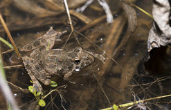 Northern cricket frog Royalty Free Stock Images