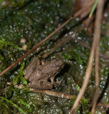 Northern Cricket Frog Royalty Free Stock Photo
