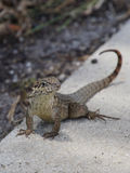 Northern Curly Tailed Lizard On Curb Stock Photography