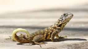 Northern curly-tailed lizard, Leiocephalus carinatus stock photos