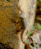 Northern Curlytail Lizard stock images