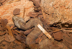 Northern death adder Stock Image