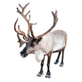 Northern deer. Image of a northern deer on a white background royalty free stock photos