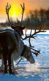 Northern deer Stock Images