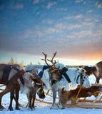 Northern deer Stock Photo
