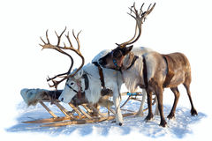 Northern deer on snow Stock Image