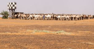 Large herd of camels at a watering hole in the desert royalty free stock images