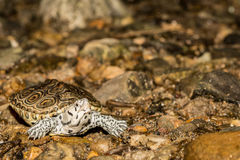 Northern Diamondback Terrapin Royalty Free Stock Photo