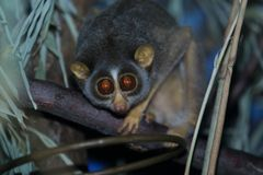 Northern dry zone slender loris. On the wood Stock Images