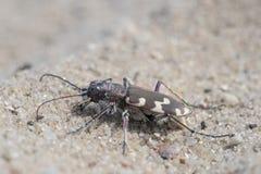 Northern dune tiger beetle - Cicindela hybrida Royalty Free Stock Photography