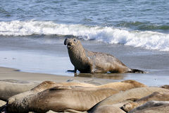 Free Northern Elephant Seal Stock Photo - 20614790