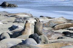 Northern elephant seal Stock Photo