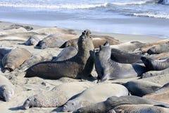 Northern elephant seal stock photo