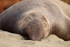 Northern elephant seal, male, on beach near San Simeon, California, USA. Male northern elephant seal Mirounga angustirostris sleeping on beach near San Simeon stock photo