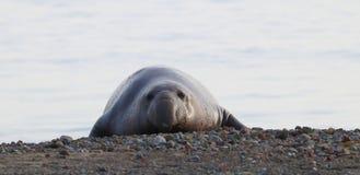 Free Northern Elephant Seal, Male, On Beach Near San Simeon, California, USA Stock Image - 142428081
