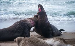 Northern Elephant Seal Males Fighting. Male elephant seals battling over a harem of females royalty free stock photo