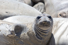Northern Elephant Seal Mirounga angustirostris Adult Female hawling out during molting season. Stock Image