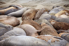 Northern elephant seal (Mirounga angustirostris) Stock Photo