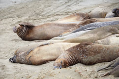 Northern elephant seal (Mirounga angustirostris) Royalty Free Stock Images