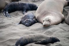 Northern Elephant Seal Mother and Pup Royalty Free Stock Photo