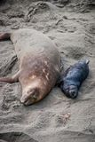 Northern Elephant Seal Mother and Pup. Mother elephant seal with her pup, taking a nap on the beach, in San Simeon, California stock photo