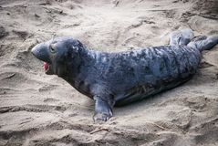 Northern Elephant Seal Pup. An elephant seal pup cries for its mother on a San Simeon, California beach Royalty Free Stock Photography