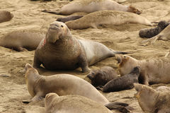 Northern elephant seals Stock Image