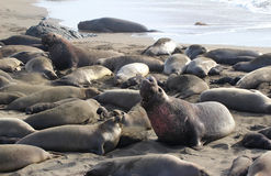 Northern elephant seals Royalty Free Stock Photography