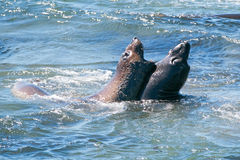 Northern Elephant Seals fighting in the Pacific at the Piedras Blancas Elephant seal rookery on the Central Coast of California Stock Photo