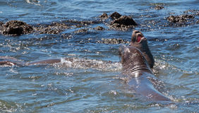 Northern Elephant Seals fighting in the Pacific at the Piedras Blancas Elephant seal rookery on the Central Coast of California Stock Images