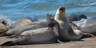 Northern Elephant Seals fighting in the Pacific at the Piedras Blancas Elephant seal rookery on the Central Coast of California Stock Photos