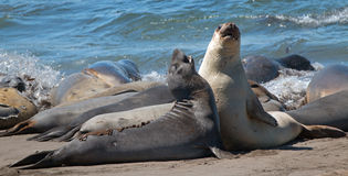 Northern Elephant Seals fighting in the Pacific at the Piedras Blancas Elephant seal rookery on the Central Coast of California Royalty Free Stock Images