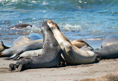 Northern Elephant Seals fighting in the Pacific at the Piedras Blancas Elephant seal rookery on the Central Coast of California Stock Photography