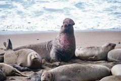 Northern Elephant Seals. A male Elephant Seal displays dominance Royalty Free Stock Images
