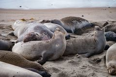 Northern Elephant Seals. A male Elephant Seal displays dominance Stock Images