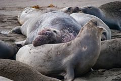 Northern Elephant Seals. A male Elephant Seal displays dominance Stock Image
