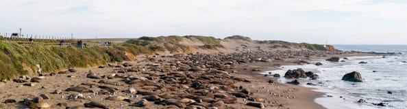 Elephant Seal Rookery. Northern Elephant Seals, Mirounga angustirostris, basking in their birthing rookery near San Simeon, California royalty free stock image