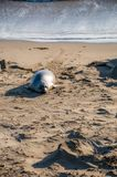Northern elephant seals Mirounga angustirostris on the California coast Stock Images