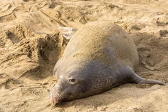 Northern Elephant Seals (Mirounga angustirostris). At Piedras Blancas. The Hearst San Simeon State Park - Elephant seal trail Royalty Free Stock Image