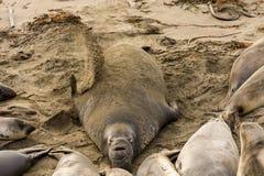 Northern Elephant Seals (Mirounga angustirostris) Stock Photography