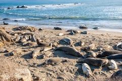 Northern elephant seals Mirounga angustirostris sunbathing on the California coast Royalty Free Stock Images