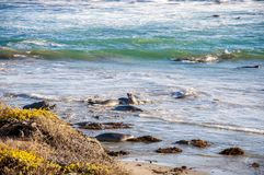 Northern elephant seals Mirounga angustirostris swimming in the Pacific Ocean on the California coast.  Royalty Free Stock Image