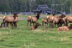 Northern Elk in a forest of Canada