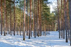 Northern Estonian pine-tree forest winter lanscape. Northern Estonian covered with a snow winter pine-tree forest landscape with a footpath Stock Photography
